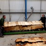 horse-chestnut-conker-log-being-cut-ripped-10