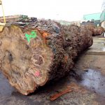 horse-chestnut-conker-log-length