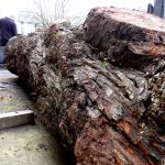 horse-chestnut-conker-log-log-burr-two