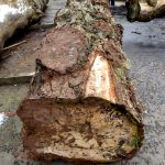 horse-chestnut-conker-log-opposite-length
